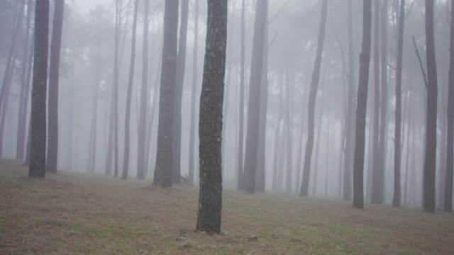 4k Dolly shot of pine trees forest in foggy - video