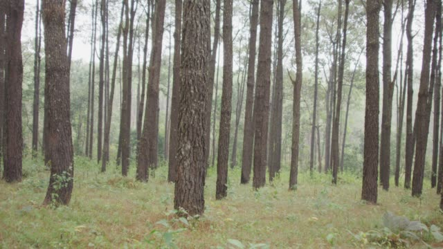 4k Dolly shot of Pine trees forest Shot on RED dragon pine tree stock videos & royalty-free footage