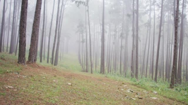 4k Dolly shot of Pine trees Rain forest