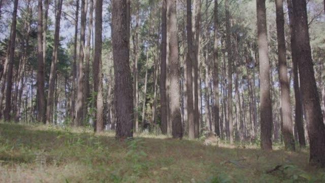 4k dolly shot, Pine forest