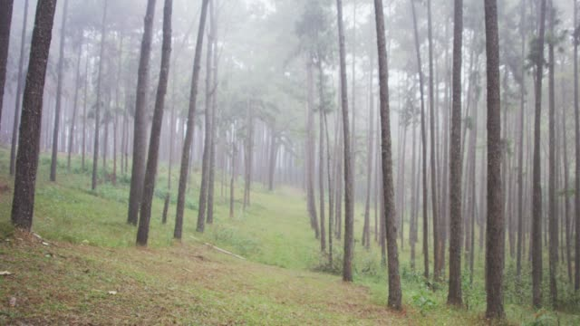 4k Dolly shot Pine trees Forest