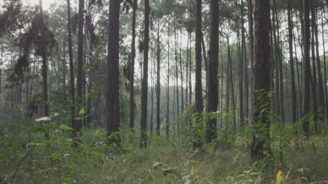 4k dolly shot ,pine trees forest