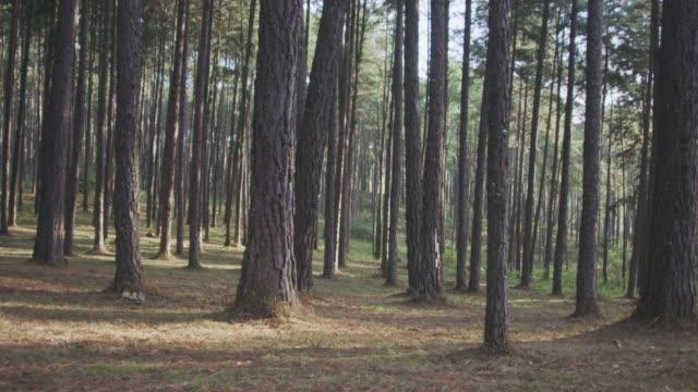 4k dolly shot ,sun shining through pine trees forest