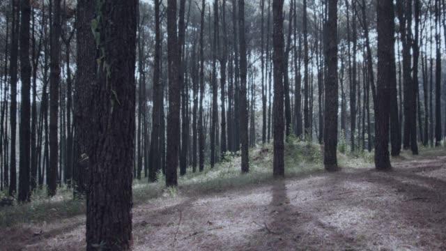 4k dolly shot, winter morning Pine trees forest