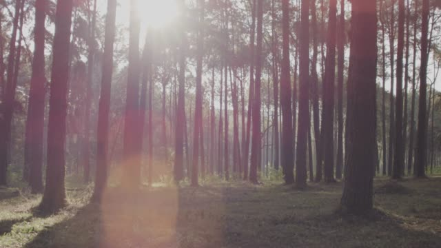 4k dolly shot,Morning Pinetrees forest видео