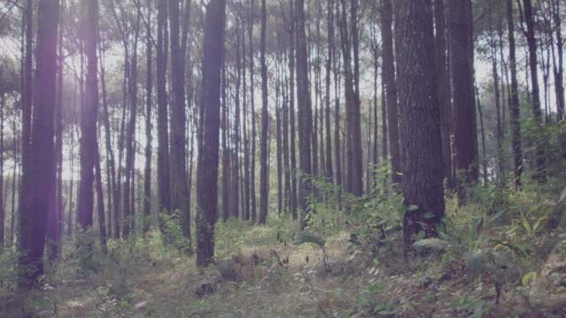4k dolly shot,winter morning in pine forest