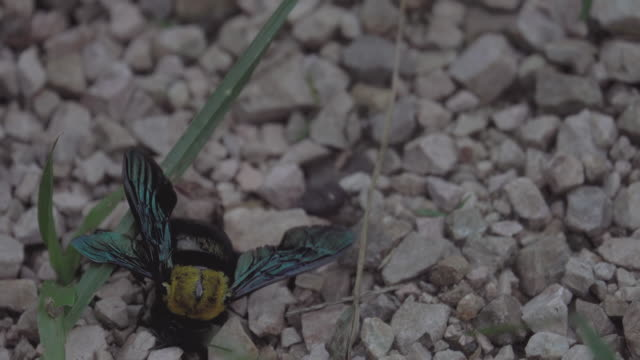 4k: Dying Wasp on the Floor with Ants eating video