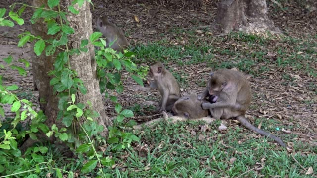 4k, family cambodian macaques deworming each other in siem reap, angkor wat - юго восток стоковые видео и кадры b-roll
