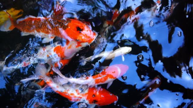 4k: fish koi - spoiler filmów i materiałów b-roll