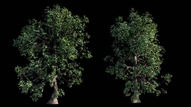 4k footage collection of windy tree for architectural visualization with cutout mask video