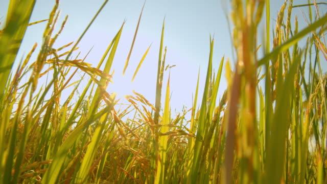 4k bilder av asiatiska naturen risfält på kvällen med solens strålar - ris spannmålsväxt bildbanksvideor och videomaterial från bakom kulisserna