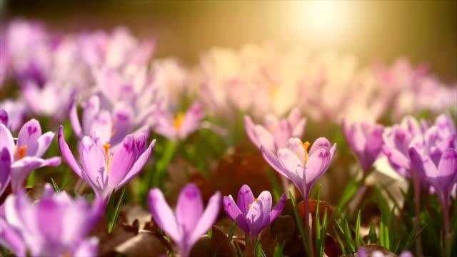 vidéos et rushes de images 4k de la lumière du soleil féerique sur crocus fleur de printemps. vue de fleurs printanières magiques de floraison crocus croissant dans la faune. couleurs majestueuses de crocus de fleur de printemps - crocus