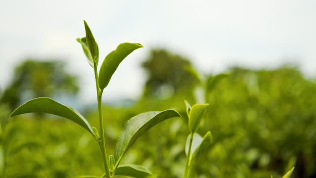 4k footage of fresh organic green tea leaves