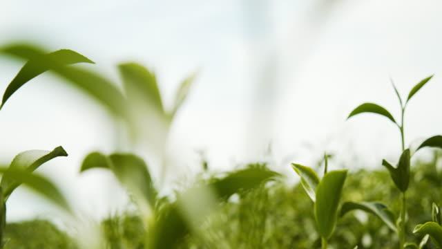 vidéos et rushes de images de 4k de feuilles de thé vert biologique sémme fraîche - thé boisson chaude