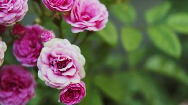 4k footage of pink rose flower.Love ,natural concept
