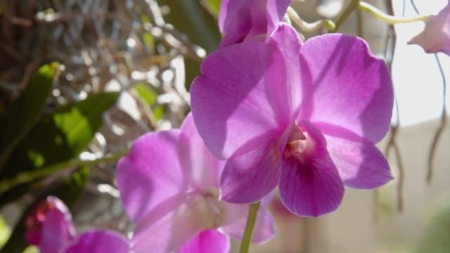 4k footage of Purple Orchids flower