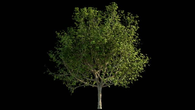 4k footage of windy tree for architectural visualization with cutout mask - gałąź część rośliny filmów i materiałów b-roll