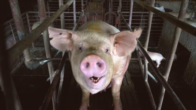 4 k filmmaterial szene hautnah gesicht und nase eines schweins atmende fabrik schweinefarm, vieh und tierischen inlandskonzept - schwein stock-videos und b-roll-filmmaterial