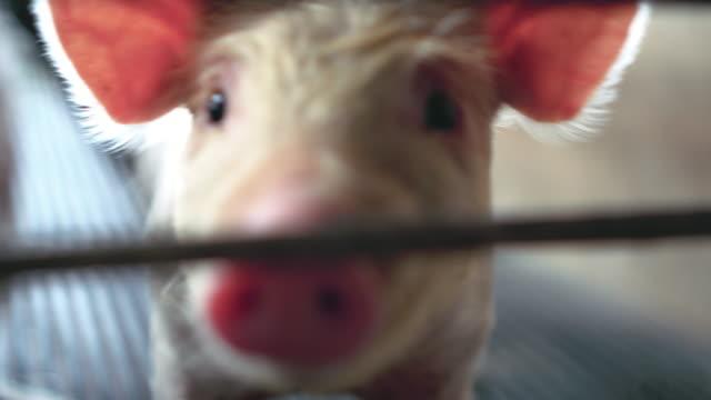 若い豚豚農場、家畜および国内の動物概念の 4 k 映像シーンをクローズ アップ - 子豚点の映像素材/bロール