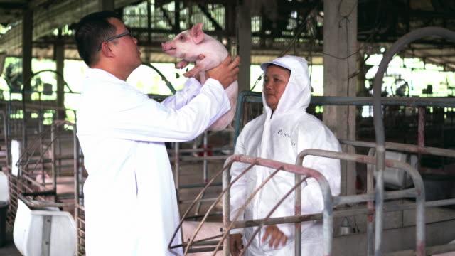 アジア獣医カット テールの保持の 4 k 映像シーンと養豚場の子豚の生まれ新しい傷に薬を適用、家畜や豚農場畜産業 - 子豚点の映像素材/bロール