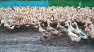 istock 4k footage scene of huge flock of ducks walking and moving flapping in farm, Behaviour and Domestic animal concept 1175007737