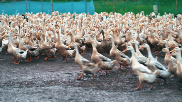 4k footage scene of huge flock of ducks walking and moving flapping in farm, behaviour and domestic animal concept - утка водоплавающая птица стоковые видео и кадры b-roll