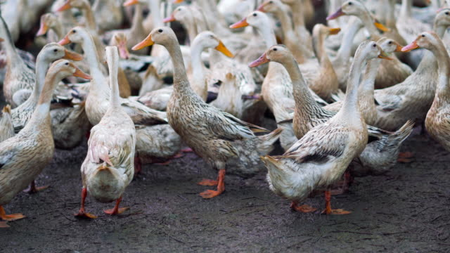 4k footage scene of huge flock of ducks walking confuse and moving flapping in farm, behaviour and domestic animal concept - утка водоплавающая птица стоковые видео и кадры b-roll