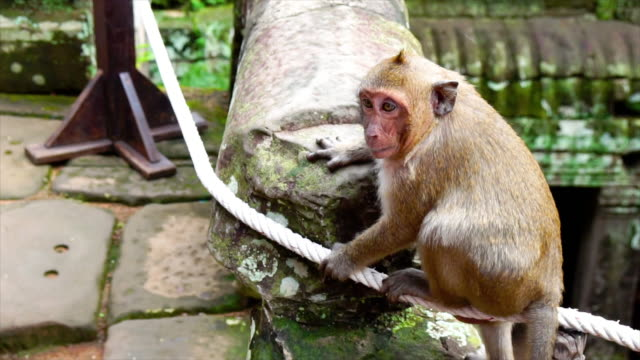 4k footage scene of monkey in Bayon Temple at Angkor Thom, Cambodia, Animal behaviour and ancient concept