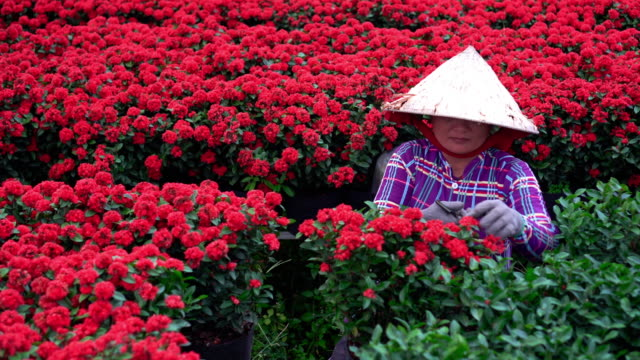 4k footage scene of Vietnamese gardener pruning red flowers garden in sadec, dong thap province, Vietnam,traditional and culture concept