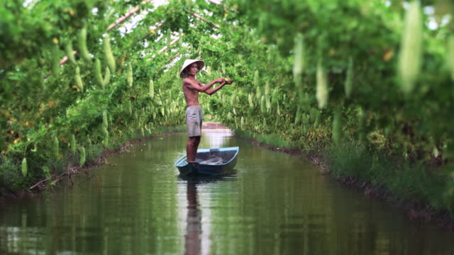 4k footage scene of Vietnamese old man farmer Keeping the yield by standing over the tradition boat on the lake in bitter gourd garden in vietnam style, An phu, An Giang province, Vietnam, Vegetable garden and farm concept Footage scene of Vietnamese old man farmer Keeping the yield by standing over the tradition boat on the lake in bitter gourd garden in vietnam style, An phu, An Giang province, Vietnam, Vegetable garden and farm concept, 4k clip cultivated land stock videos & royalty-free footage