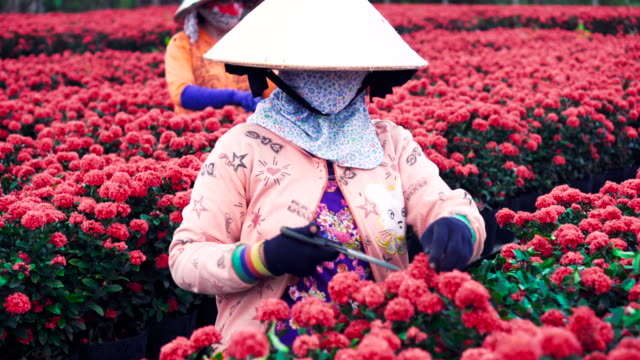 4k footage scene top view of three vietnamese gardeners pruning red flowers garden in sadec, dong thap province, vietnam,traditional and culture concept