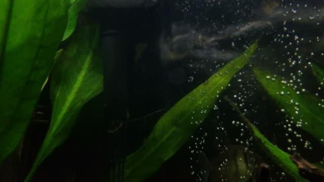 4k Fresh water tropical fish video