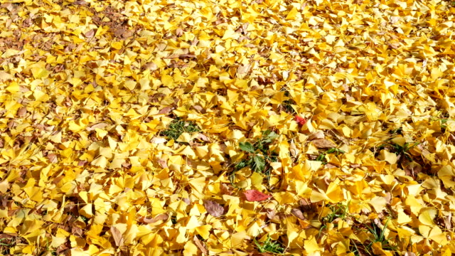 4k Ginkgo yellow leaves in Autumn season at Japan video