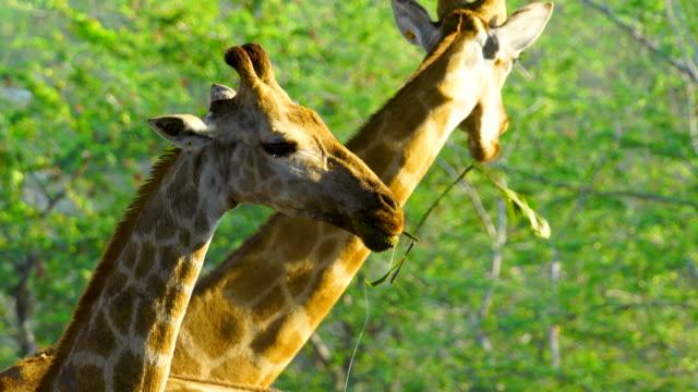 4k grupp giraff äta löv och gå hem - djurfamilj bildbanksvideor och videomaterial från bakom kulisserna