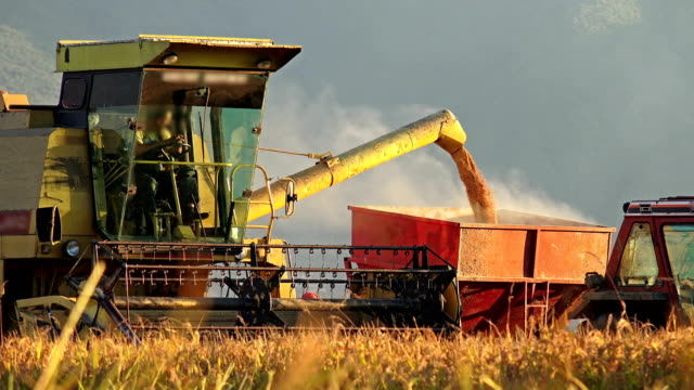 4k Harvesting at sunset goldenhour - Stock Video. Combine transfer collected crops in tractor container. Sony 4K shoot