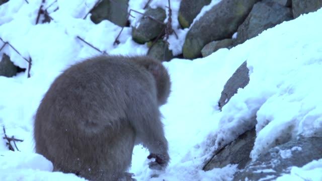 4k: japon maymun karda yeme - japon makak maymunu stok videoları ve detay görüntü çekimi