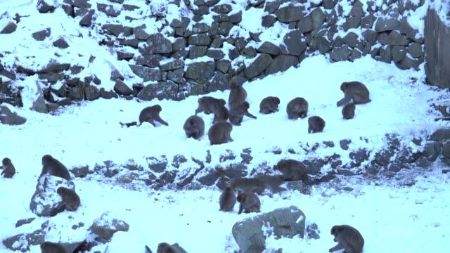 4k: japon maymun karda koşma - japon makak maymunu stok videoları ve detay görüntü çekimi