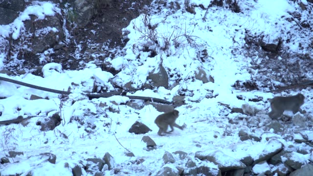 4k: Japanese Monkey Running in Snow animal japanese macaque stock videos & royalty-free footage