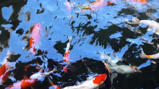 4k: koi fish - spoiler filmów i materiałów b-roll
