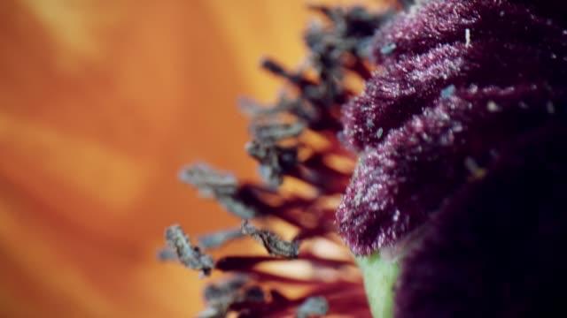花びらとケシの花を通して4k マクロバグアイビュー - 中林大樹点の映像素材/bロール