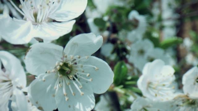 白い桜の木の花を通して4k マクロバグアイビュー - 中林大樹点の映像素材/bロール