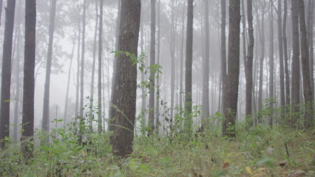 4k Mist in Pine trees forest