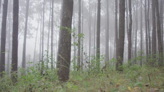 4k Nebel im Wald Bäume – Video