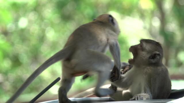 4k: maymun araba mücadele - makak maymunu stok videoları ve detay görüntü çekimi