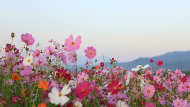 4k of beautiful cosmos flower field