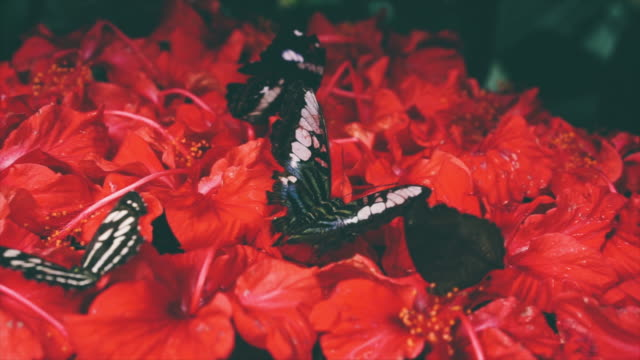 4k of Butterfly eating pollen flower 4k of Butterfly eating pollen flower flowerbed stock videos & royalty-free footage