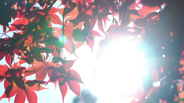 4k of Sunlight through red maple leaf background in autumn season.