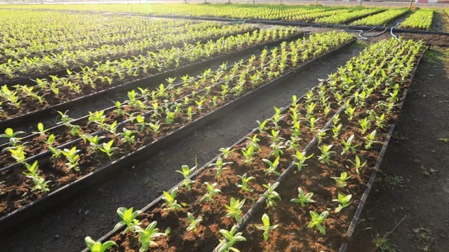 4k of young seedling of organic vegetable plantation in a row during the morning light for agriculture and farming design usage - semenzaio video stock e b–roll