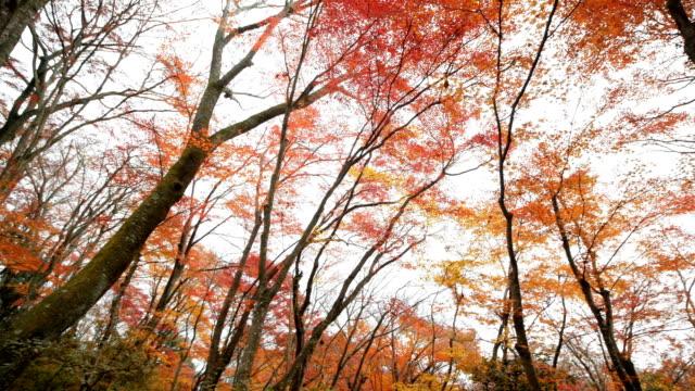 4k Orange maple tree in autumn season video