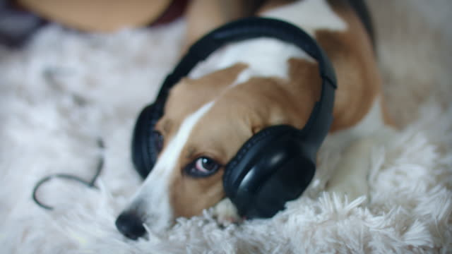 4k Pet Beagle Dog Posing on Couch with Headphones video